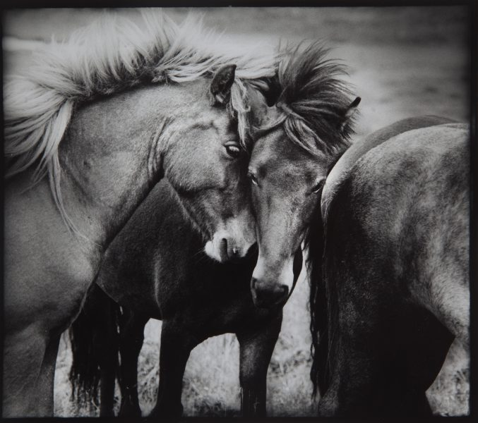 2. MG_1081 island hästar